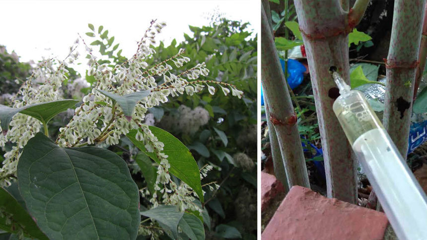 You May Be Closer To Japanese Knotweed Than You Think…